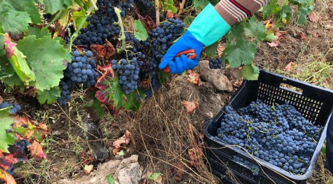 Valdeorras concluye la vendimia 2020 con más de 5,5 millones de kilos de uvas recogidas