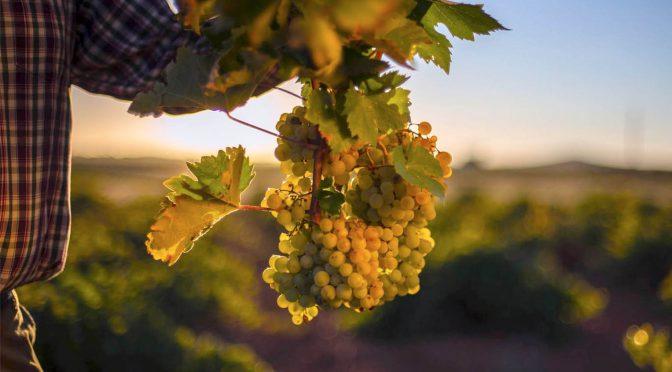 108 millones de kilos de uvas vendimiadas en la DO Valdepeñas