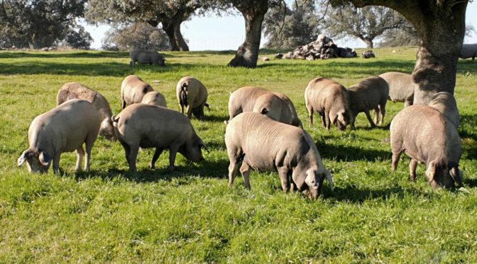 La crisis del cerdo de bellota